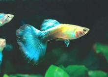 Blue Diamond Guppy