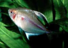 Brazil Bleeding Heart Tetra