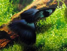 Black Male Guppy