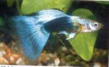 Blue Neon Guppy