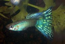 Blue Snakeskin Guppy
