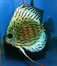 Blue Diamond Snakeskin Discus