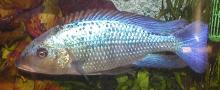 The Fosso Cichlid