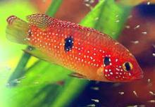 Red Forest Jewel Cichlid