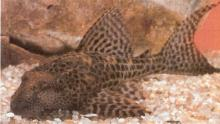 Sailfin Plecostomus