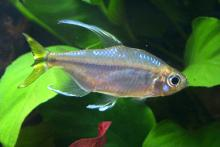 Yellow Tail Congo Tetra